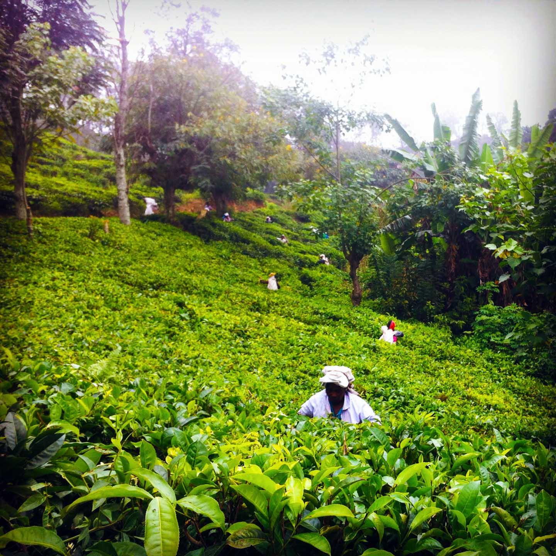 Sri Lanka sui sentieri del tè con Elena raccolta tè