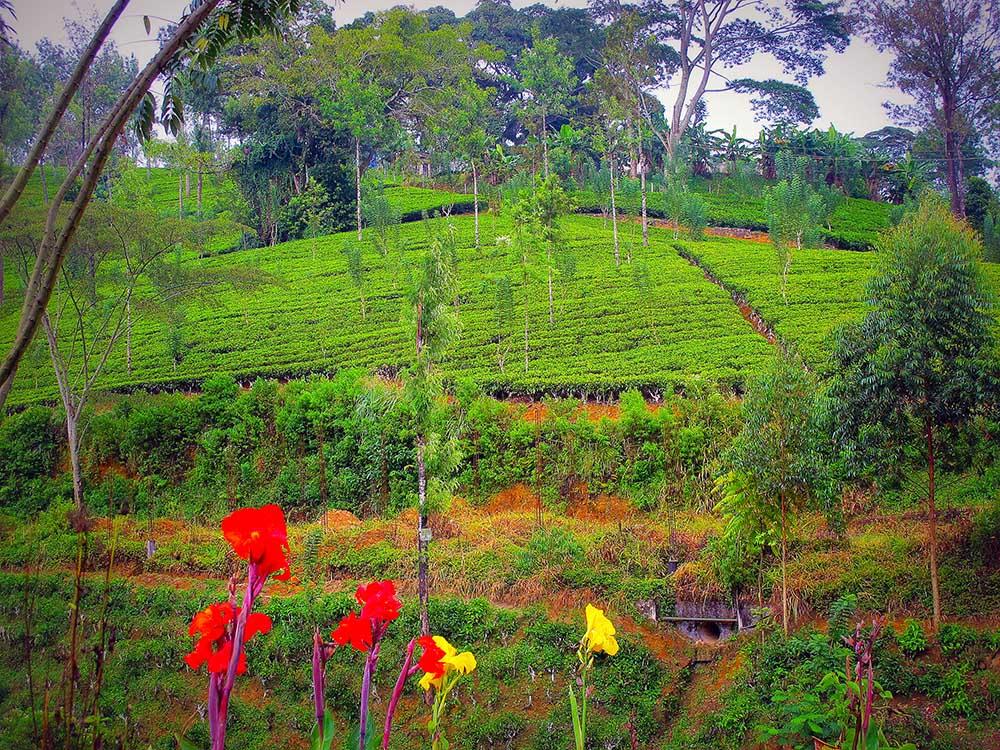 Sri Lanka sui sentieri del tè con Elena