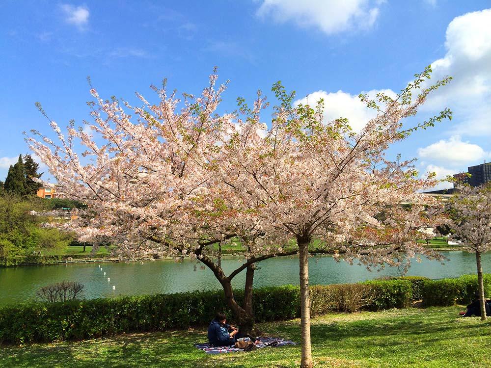 Sakura ciliegi in fiore a Roma Eur