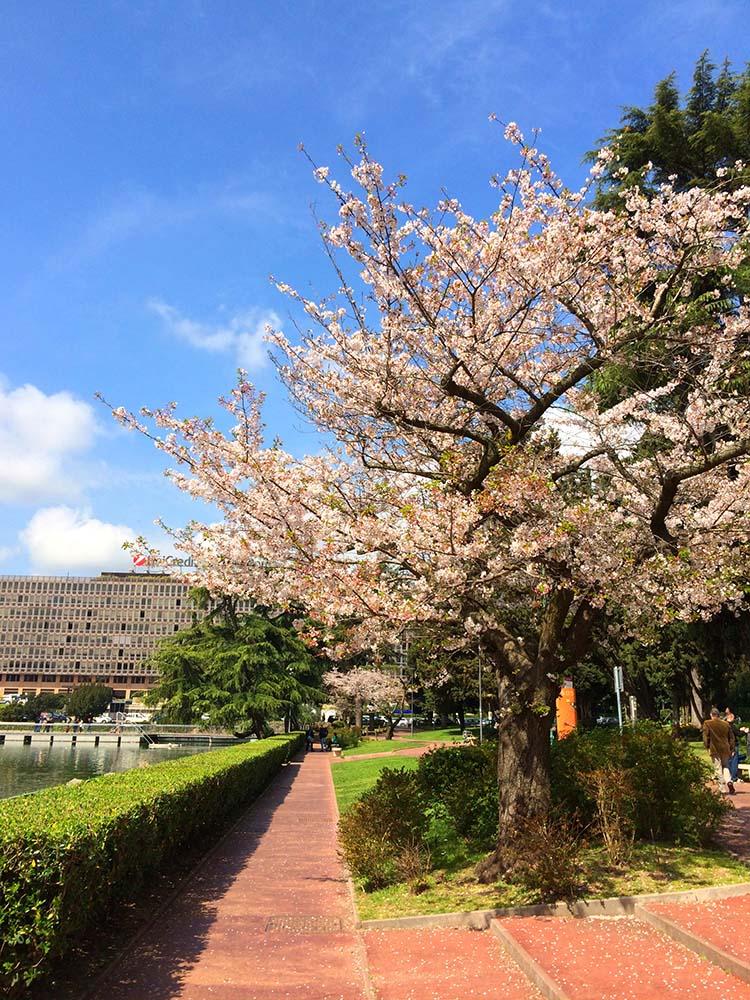 Sakura in fiore laghetto Eur Roma